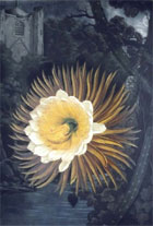 Mezzotint of the rarely flowering 'night blooming cereus' from Robert Thornton's Temple of Flora, 1799-1807. The white and yellow flower is set against a romanticised background of an English churchyard in the moonlight. (Sp Coll e23 plate 29) Links to web exhibition.