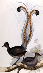 Hand coloured lithograph plate showing a lyre bird displaying its distinctive tail, from John Gould's Birds of Australia, 1840-1869. (Sp Coll n1-a.3 plate 14) Links to web exhibition.
