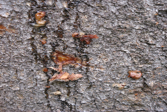 Mountain pine beetle attack