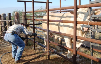 Cow being sprayed with pesticide at Queensland University's Pinjarra Hills campus. Photo by Prof Nick Jonsson.
