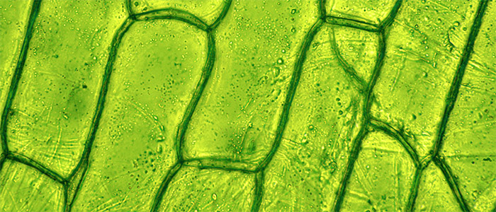 Plant cell under microscope