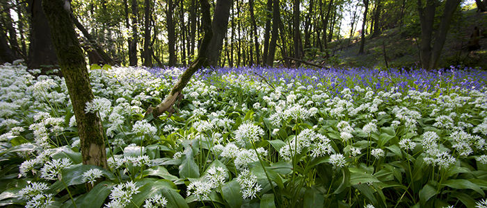 woodland with bluebells and wild garlic