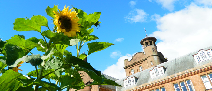sunflower outside main building on Dumfries campus