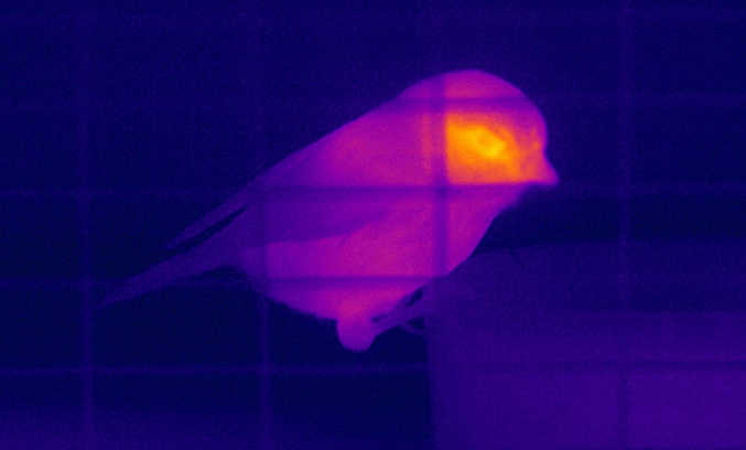 Blue tit thermal image