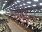 Dairy herd feeding