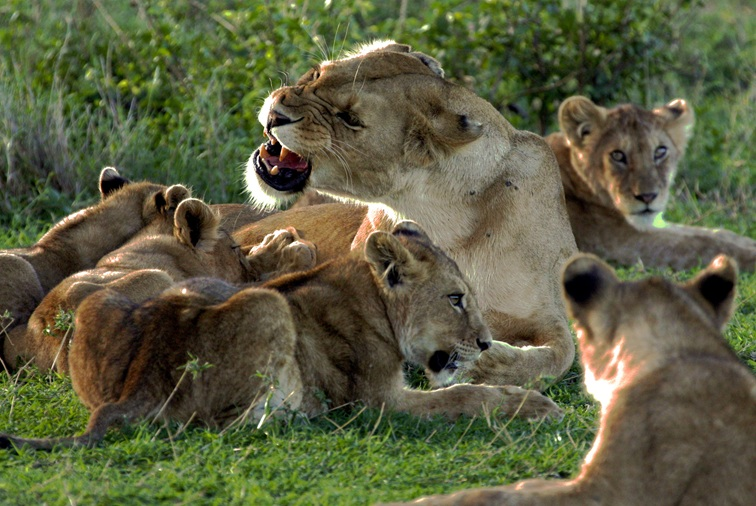 Photo of lions in Serengeti National Park, by Sian Brown.