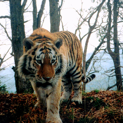 CDV Amur tiger taken by a camera trap. Credit: WCS Russia Programme
