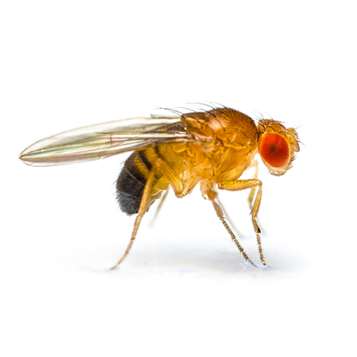 Drosophila image