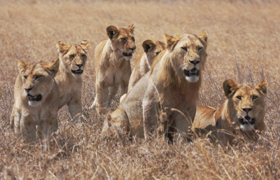 Serengeti lions. Image credit: Sian Brown