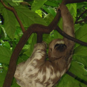 Pale throated three-toed sloth from Richard Elliott