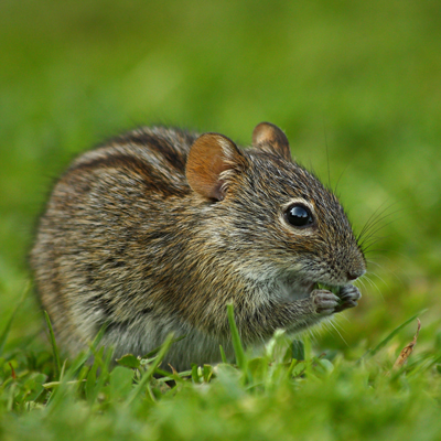 Striped field mouse (a potential reservoir of hantaviruses)