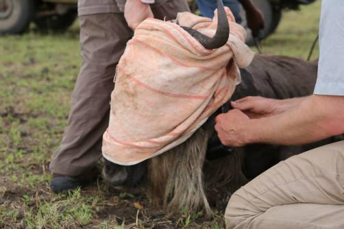 Dr Grant Hopcraft attaching radio collar to a wildebeest, Serengeti. Photo by Mary Ryan. April 2015.
