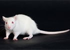 A white rodent