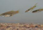 Female and male guppies - credit Darren Croft and Safi Darden, University of Exeter.
