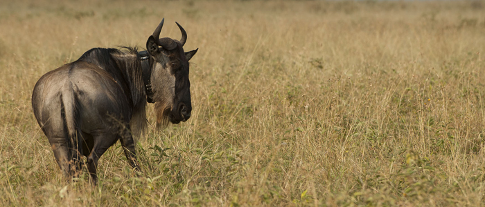 Wildebeest with tracking collar.