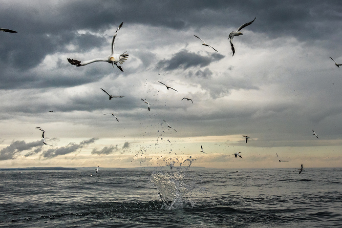 Diving gannets © Sam Hobson, with permission for use in this news story only.