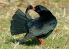 A chough preening its tail feathers (Photo: Anne Delestrade)