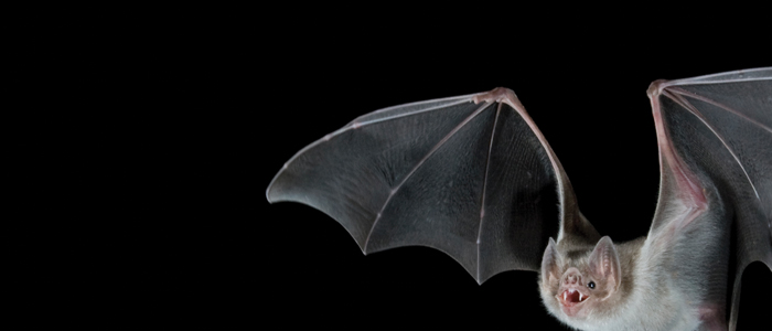 Photo by Barry Mansell/naturepl.com. A vampire bat flying at night.