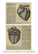 Heart Specimens from Quain's Elements of Anatomy