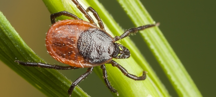 Tick Insect 700