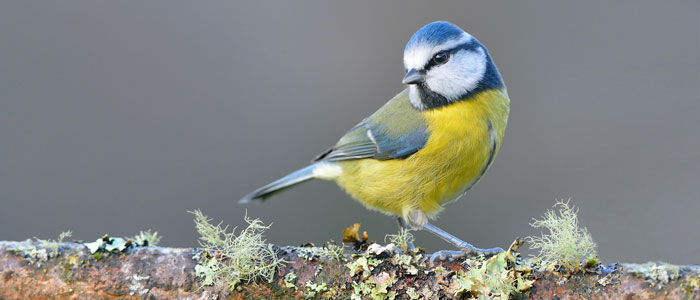 Image of a blue tit on branch