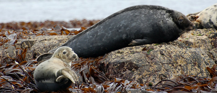 700x300 - attribution 'Young Grey Seal With Large Adult Behind' by Steenbergs, licensed at CC BY 2.0, available at www.Flickr com