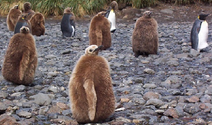 King Penguin chicks, South Georgia