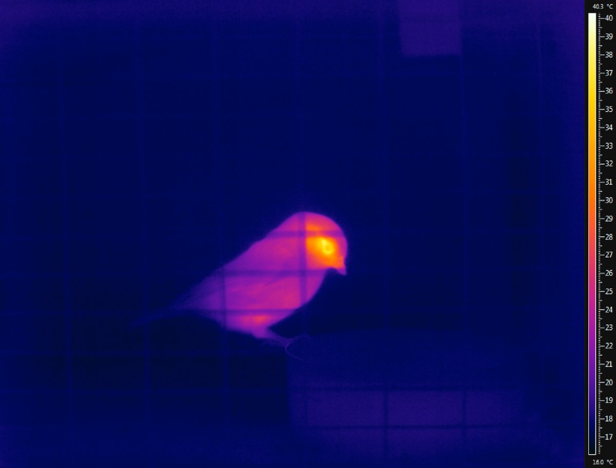 Thermal Bird