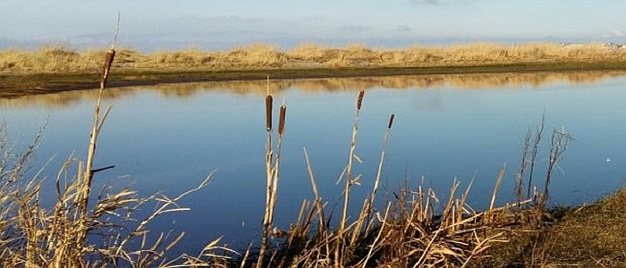 Reeds, Royal Troon, Scotland