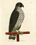 hand coloured illustration of Goshawk on Falconry stand from 18th century volume: A Natural History of Birds, London (1731-1738), Eleazar Albin