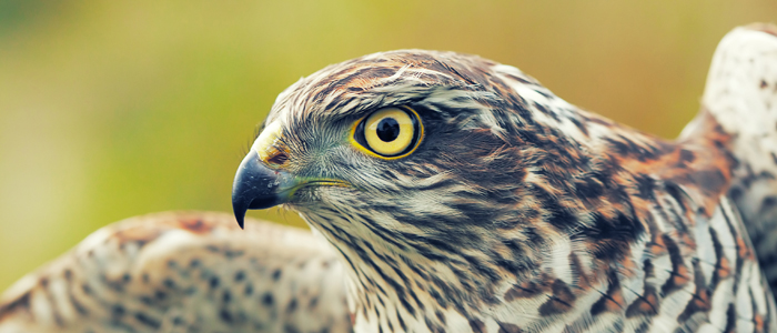 Photo of hawk