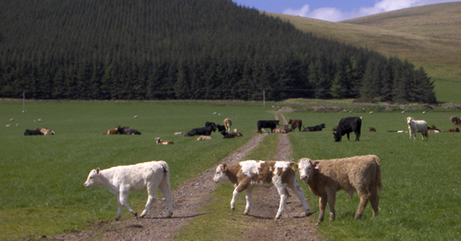 Image of cows grazing