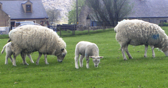 Images of sheep grazing