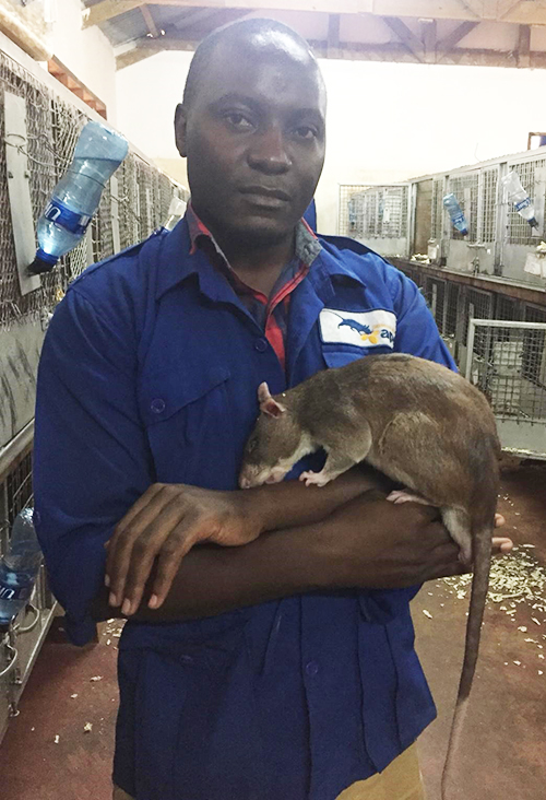 Brucella sniffer rat in handler in Tanzania