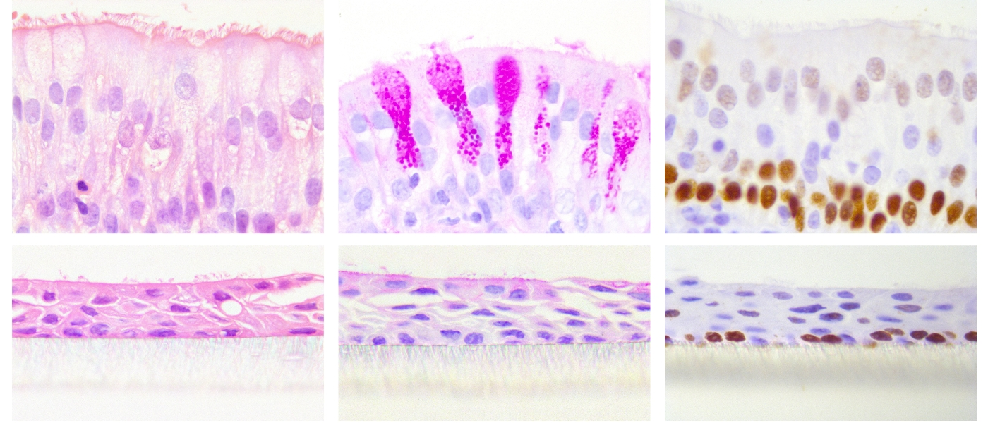 Top (L-R) ex vivo ovine tracheal epithelial, bottom (L-R) in vitro differentiated ovine airway epithelia. Stained with H&E, PAS and anti-p63