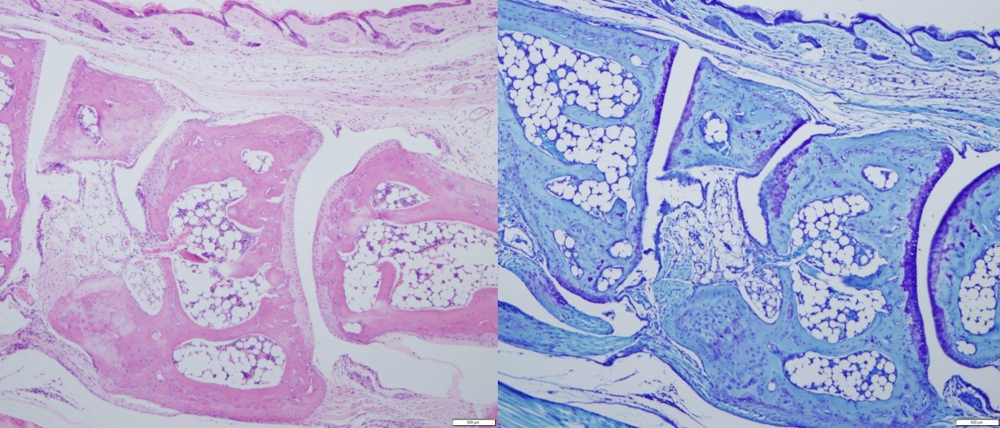 Mouse Joint, H&E and Toluidine Blue Staining