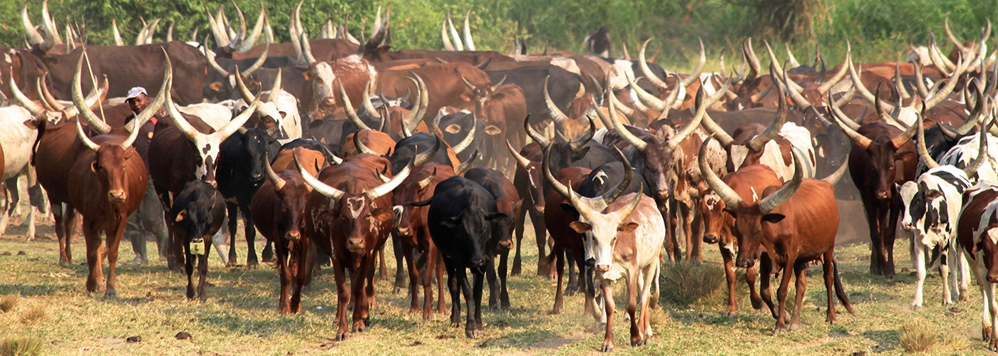 Longhorn cattle in Africa