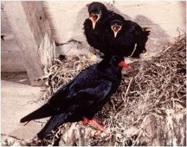 choughs for pat monaghan