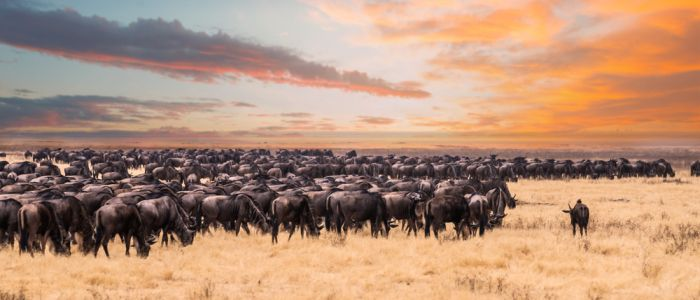 Image of Serengeti-Mara cattle in east Africa