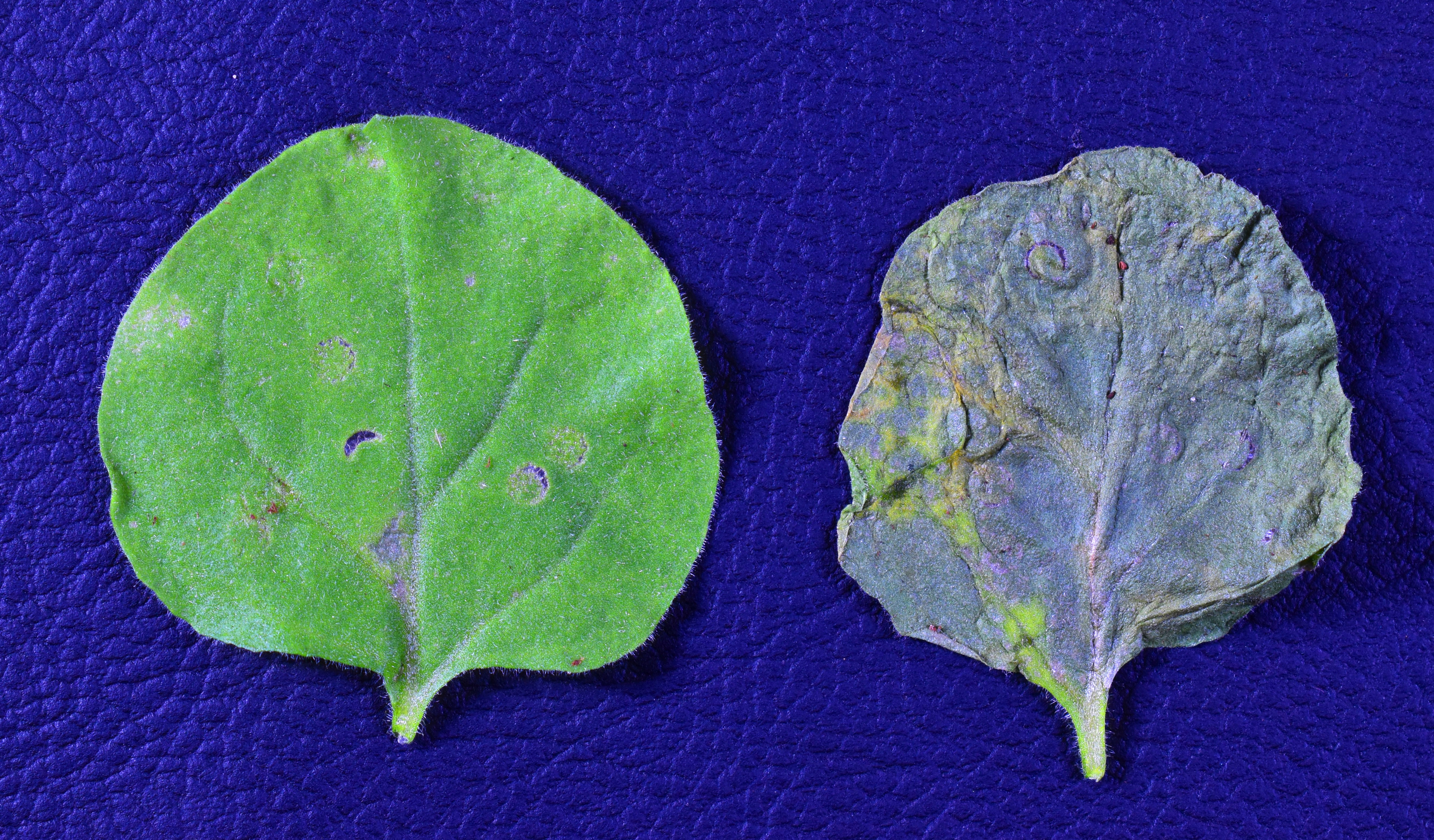 Two leaves, one affected and one unaffected by common crop bacteria Pseudomonas syringae