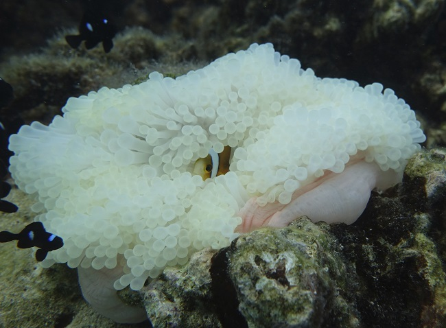 Juvenile clown fish and coral bleaching
